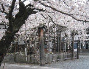 【桜・見ごろ】龍谷寺のモリオカシダレ