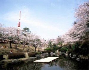 【桜・見ごろ】八幡山公園