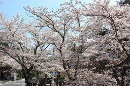 勿来関跡の桜