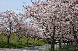 神戸ワイナリーの桜