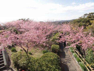 官軍塚の桜