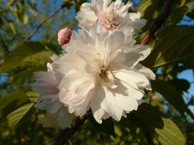【桜・見ごろ】矢那地区