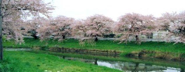 【桜・見ごろ】太平川沿いの桜並木
