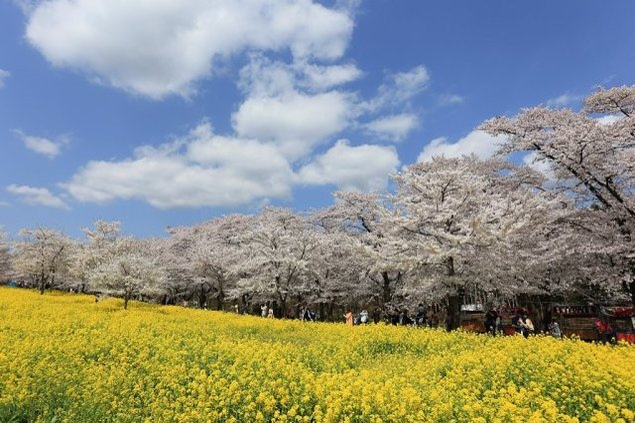 赤城南面千本桜まつり<中止となりました>