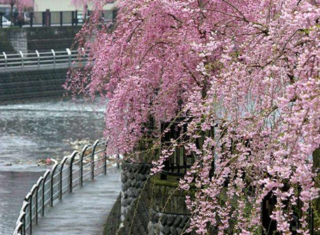 【桜・見ごろ】田川