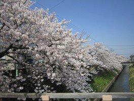 真間川沿いの桜並木