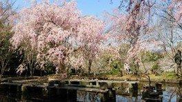 荒井城址公園の桜