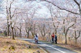 八千代湖周辺の桜