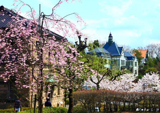 博物館 明治村の桜