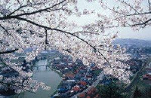【桜・見ごろ】楯山公園