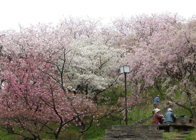【桜・見ごろ】日本国花苑