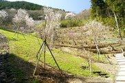 【桜・見ごろ】平家さくらの森