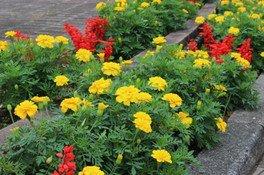 英国式庭園ワークショップ「染め物(マリーゴールド)」