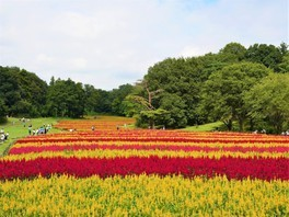 【花・見ごろ】国営武蔵丘陵森林公園 羽毛ゲイトウ