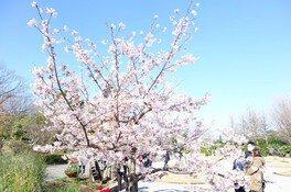 日比谷花壇大船フラワーセンターの桜