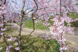 氷上さくら公園の桜