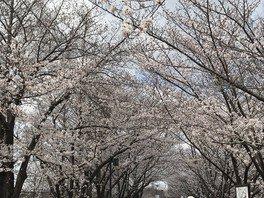 打上川治水緑地の桜