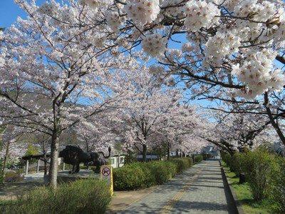 長野市城山公園の桜
