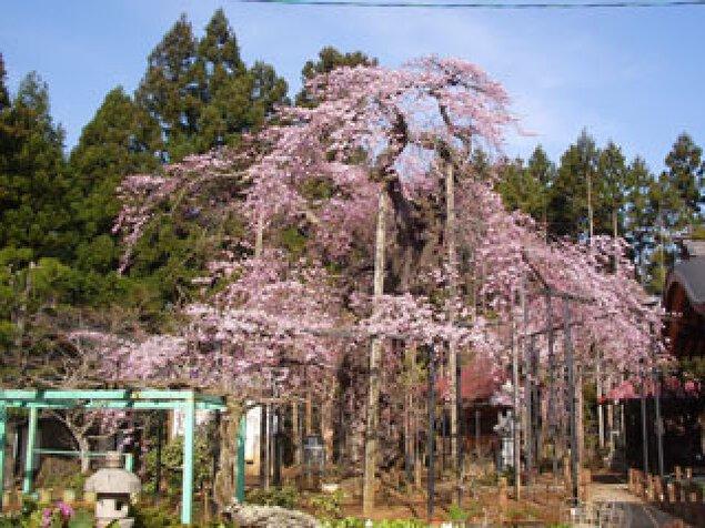 【桜・見ごろ】愛蔵寺の護摩桜