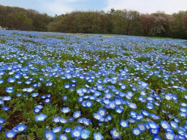 【花・見ごろ】国営武蔵丘陵森林公園 ネモフィラ
