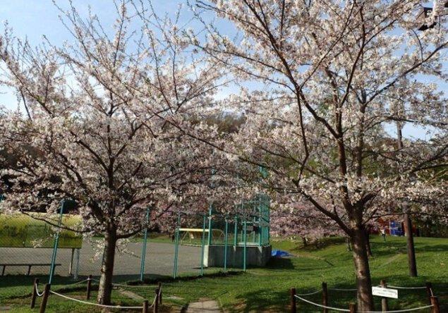 【桜・見ごろ】円山公園