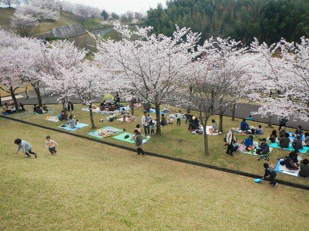 【桜・見ごろ】さぬき空港公園