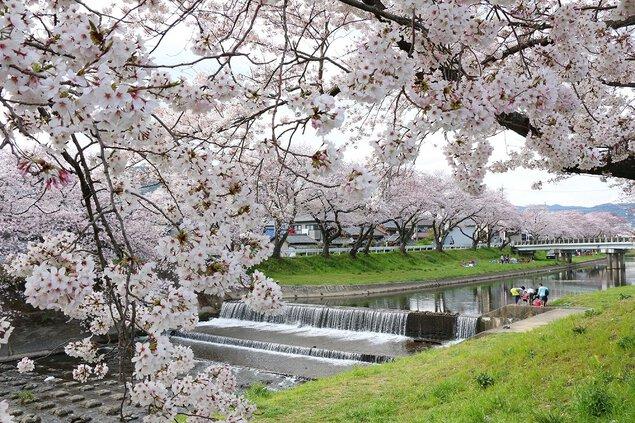 音羽川堤の桜