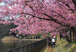 小松ヶ池公園の桜