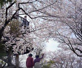岩屋緑地の桜