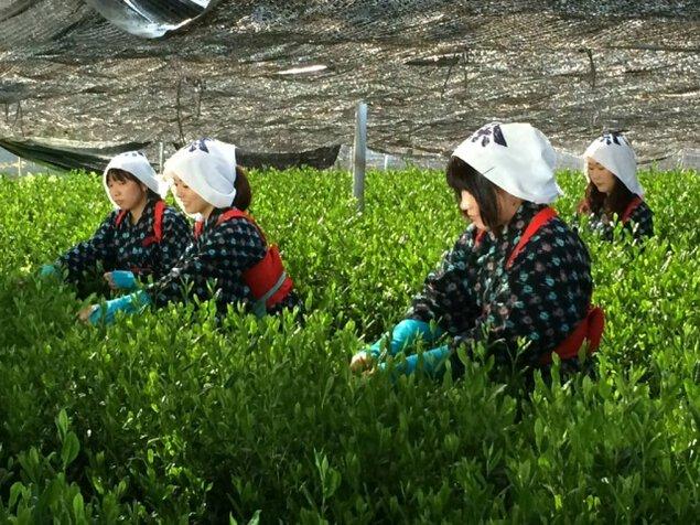 一番茶茶摘み体験と抹茶工場見学<中止となりました>