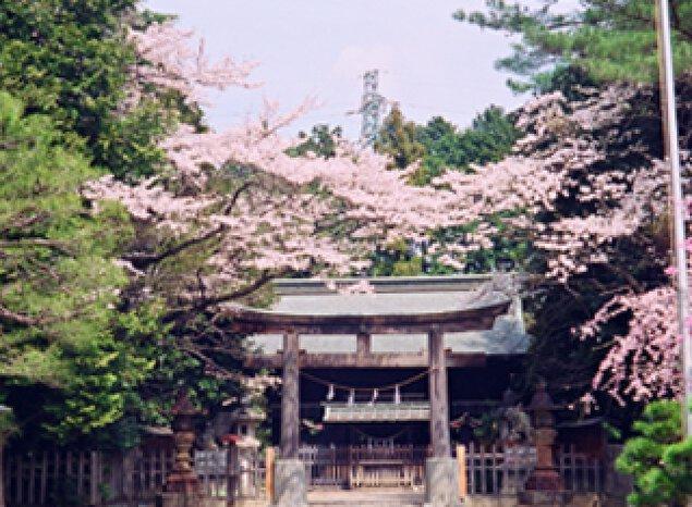 【桜・見ごろ】蒲生神社