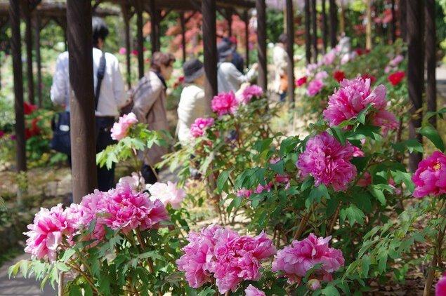 春を謡う 徳川園 牡丹祭