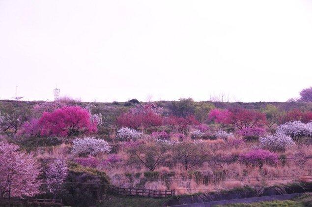 【桜・見ごろ】神明の丘眺望公園