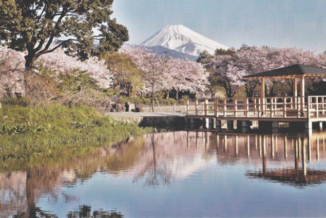 【桜・見ごろ】丸池