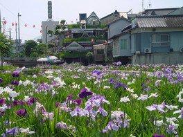 新谷菖蒲園 花菖蒲まつり2018