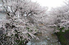 黒井川の桜堤の桜
