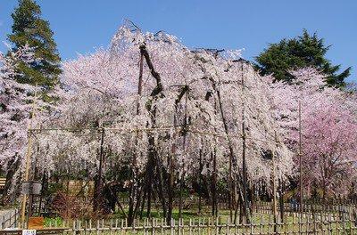 真間山弘法寺の桜