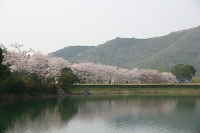亀池公園の桜