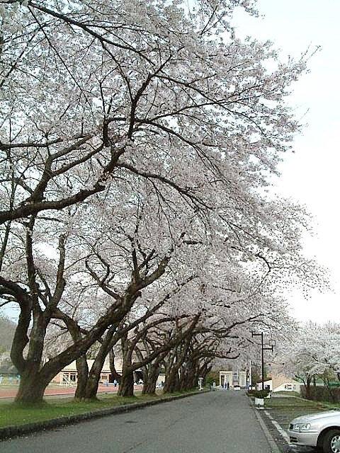 【桜・見ごろ】小坂中央公園