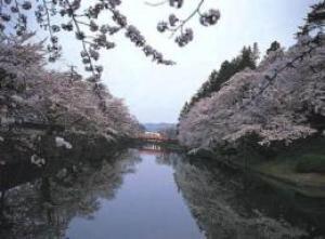 【桜・見ごろ】米沢城址(松が岬公園)