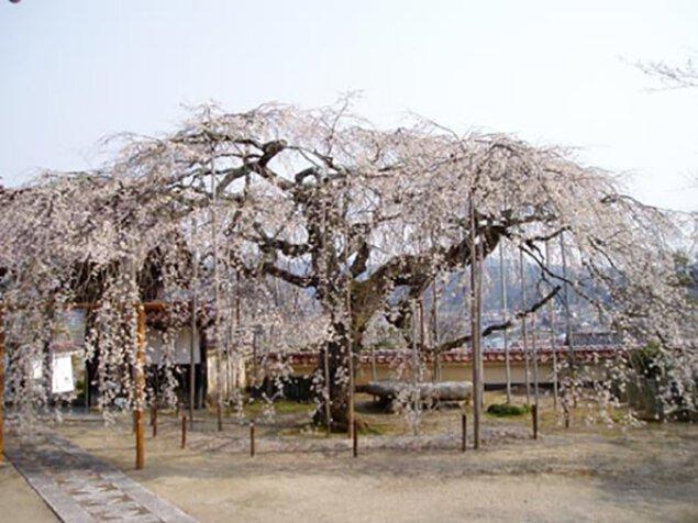 【桜・見ごろ】圓立寺のしだれ桜