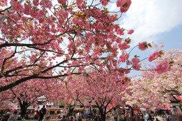 【臨時休園】天平の丘公園の桜