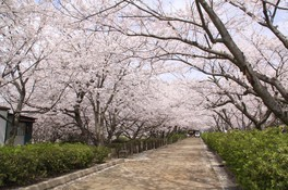 戦場ヶ原公園の桜