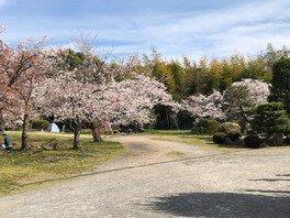 伏見桃山城の桜