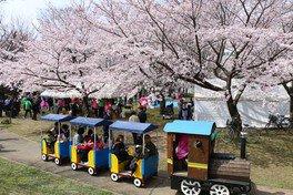 あかぎ公園の桜