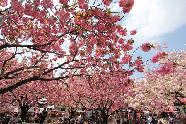 天平の丘公園の桜