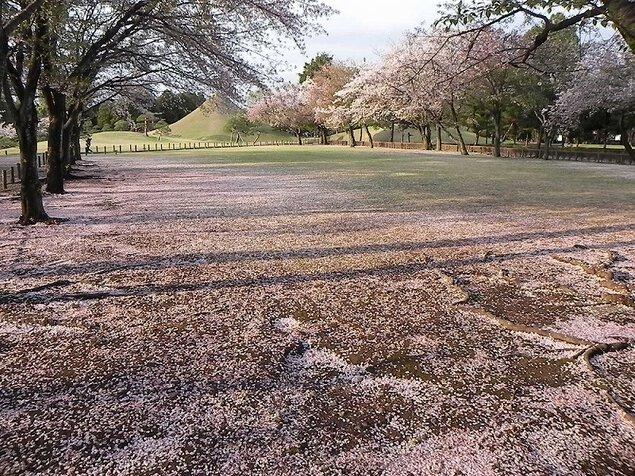 水前寺成趣園の桜