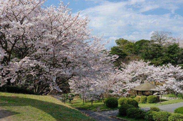 夜桜のライトアップ ときわ公園