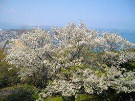 老の山公園の桜