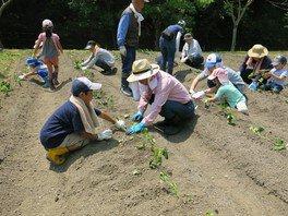 県立なか・やちよの森公園 サツマイモをつくろう!シリーズ1回目 苗植え